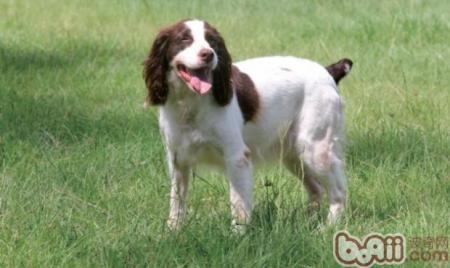 英国史宾格猎犬的性格特点有哪些?