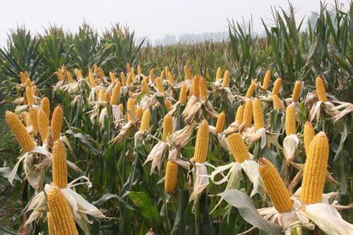 玉米小贩到村里收玉米,拉一趟能赚多少钱?