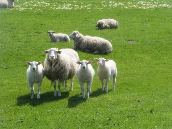 """农村老话""""男怕属鸡,女怕属羊""""有什么讲究?"""