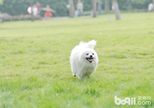 博美犬的基本训练有哪些?