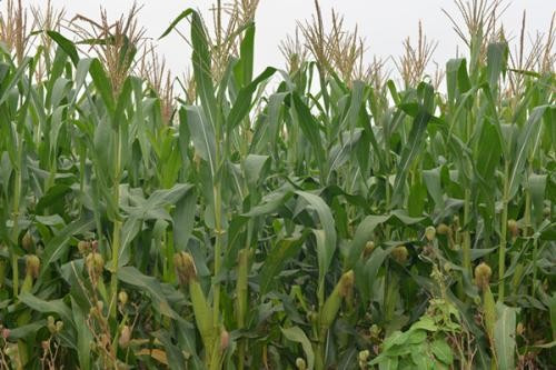 玉米种植合理播种能起到抗倒伏作用,都有哪些技巧?