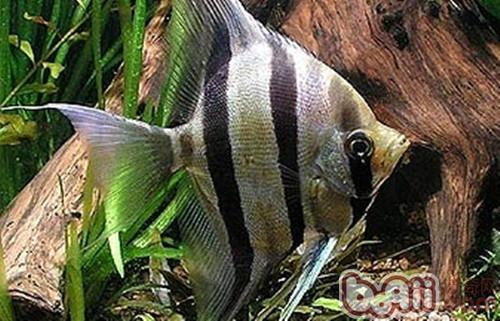 埃及神仙鱼是什么品种?