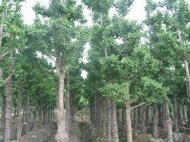 未来最有销路的树种有哪些?