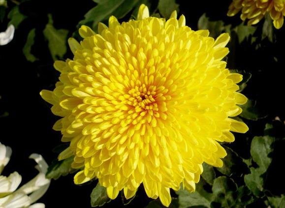描写菊花的古诗有哪些,要整首