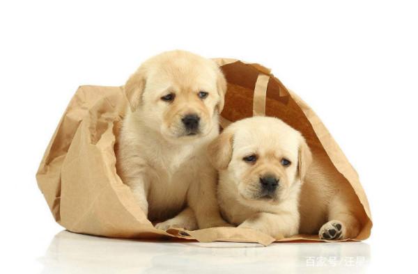 家里想养只可爱的拉布拉多犬,那么该怎样挑选幼犬呢?