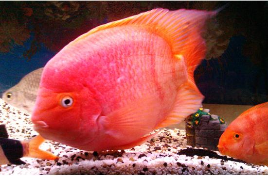 红鹦鹉鱼该如何养?