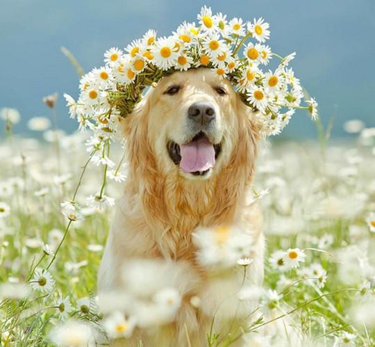 金毛,是大家都喜欢的一条狗,活泼,漂亮,那我们应该如何挑选呢?
