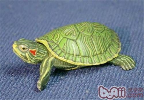 巴西龟冬眠要多久?