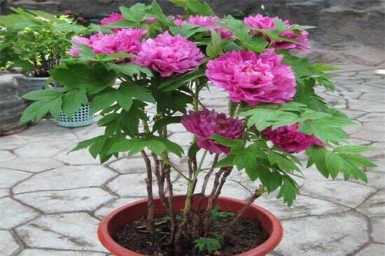 芍药花从种子到开花怎么养?插图(5)