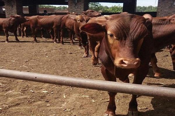 """农村养牛,""""母牛""""和""""肉牛""""哪个利润好?"""