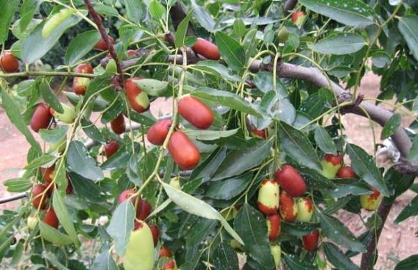 枣树一般亩产多少斤?