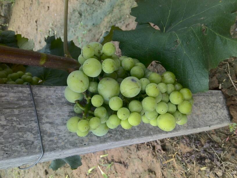 葡萄果实有大小豆是什么原因