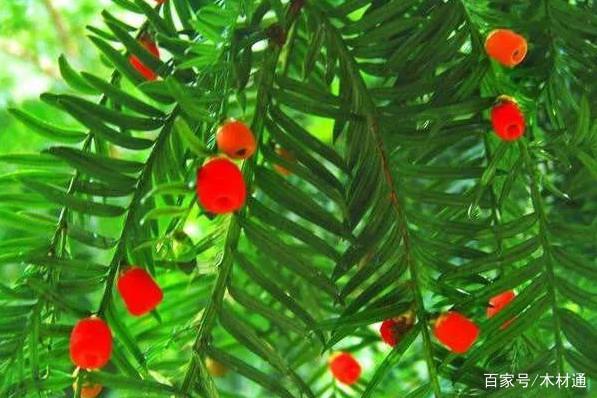 四季常青造型美观的红豆杉,应该怎么去养护它呢?