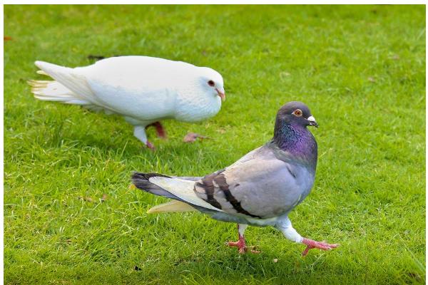 家里养了很多的鸽子和鱼,鸽子粪可以用来喂鱼吗?
