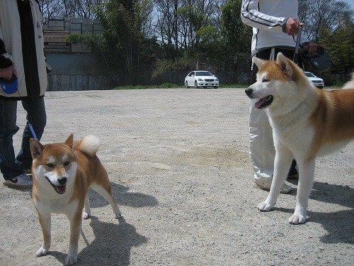 秋田犬和日本柴犬哪个狗更厉害?攻击性比较强