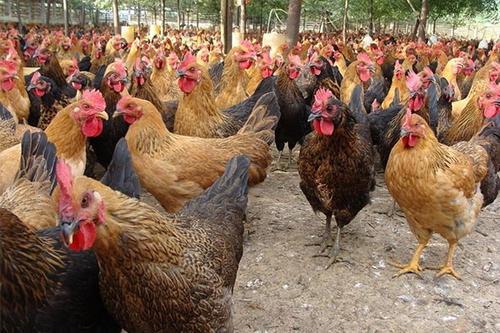 养多长时间的土鸡最好吃?
