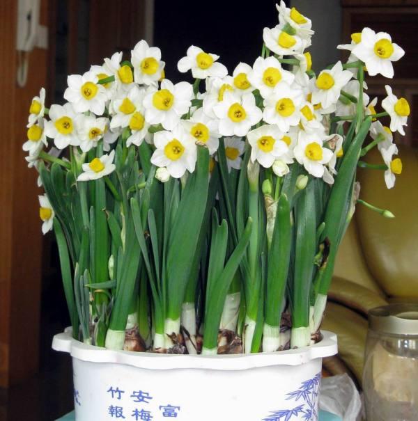 水仙花的外形特点