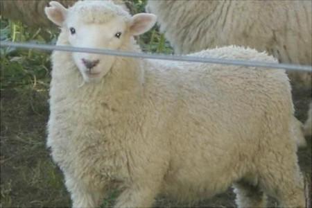 为什么羊价涨了,很多养羊户仍然不舍得卖羊?