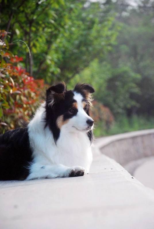 如何训练边境牧羊犬 边境牧羊犬很聪明?
