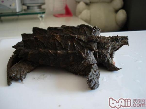 鳄鱼龟爱吃什么食物?