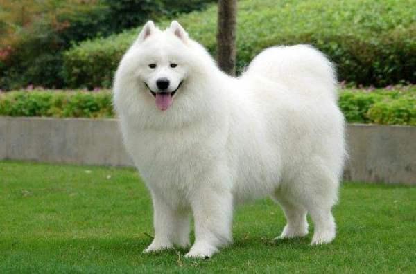 萨摩耶几个月可以长成大狗?