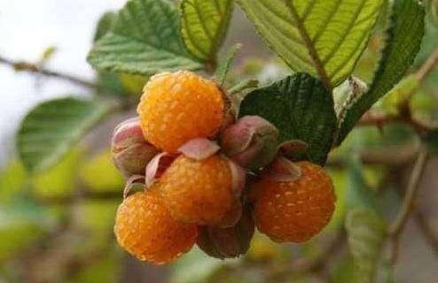 进口水果这么贵,为何还要买,农村这些水果其实更加绿色?