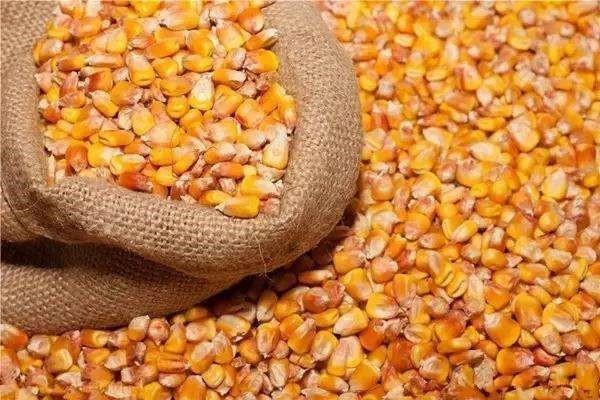 玉米价格持续上涨的背后,隐藏着什么风险?