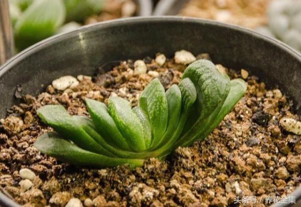 怎样从配土开始 养出最美多肉植物?