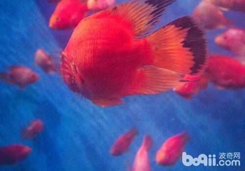 鹦鹉鱼怎么繁殖?