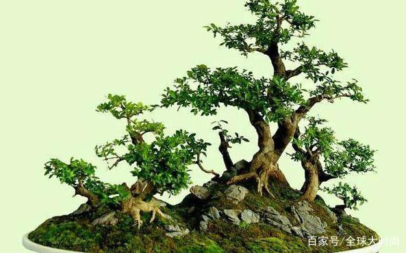 如何让盆景内长出苔藓,这个方法教给你?