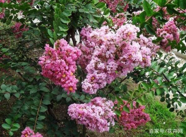 紫薇花怎么养?