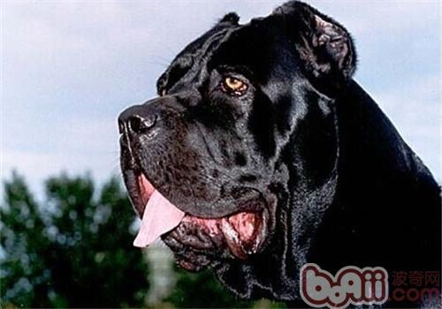 卡斯罗犬的护理常识有哪些?