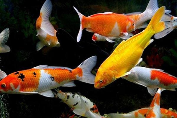 锦鲤怎么进行鱼体消毒呢?