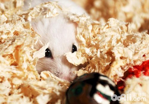 基本的仓鼠用品有哪些?