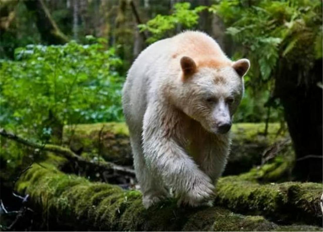 阿尔泰山发现的白熊,为何不是棕熊变种?而是白化的棕熊?