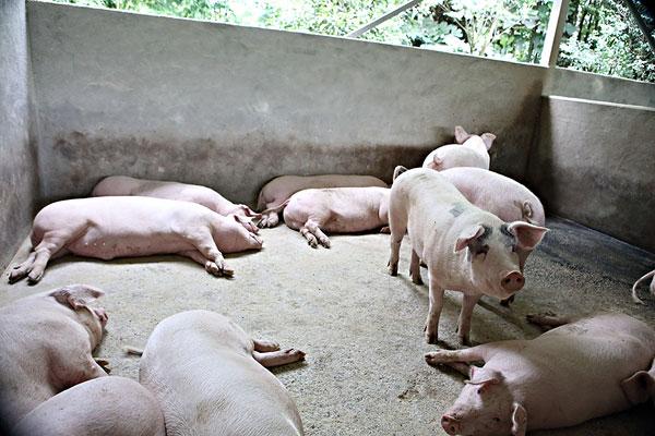 在农村养猪,不给猪圈清理粪便,有哪些主要影响?