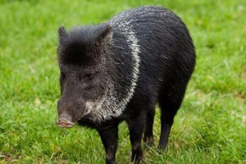 农村放养的黑猪真的很抢手吗?