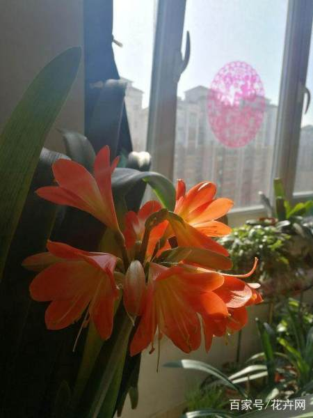 君子兰怎么养好,我家的为什么不开花?