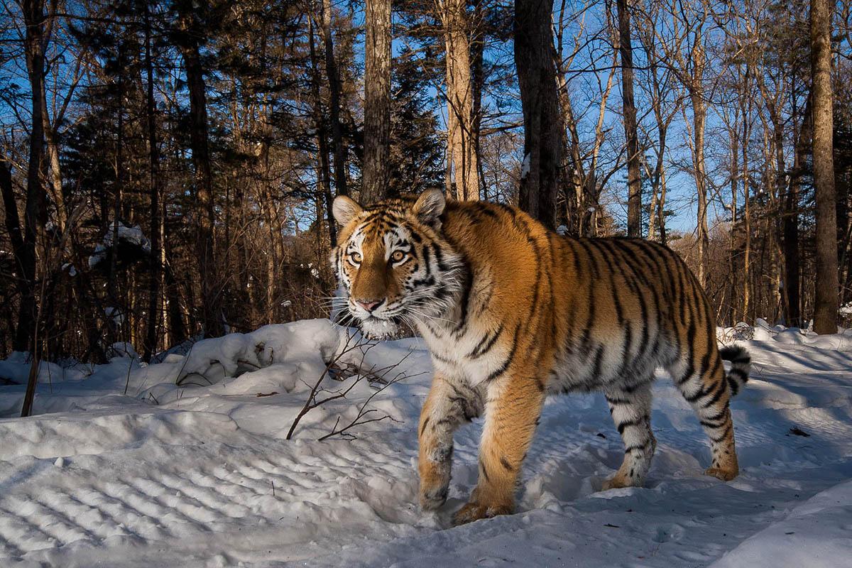"""东北亚相传出现过""""远东巨虎"""",体重超800千克,是真的吗?"""