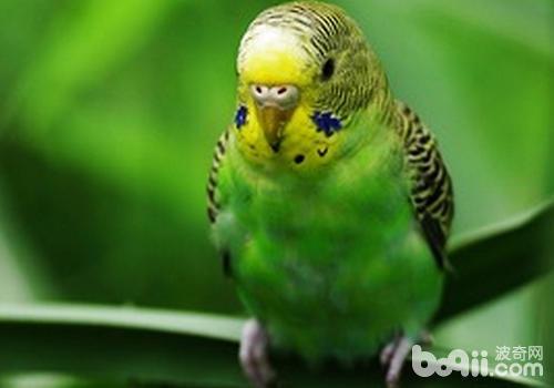 虎皮鹦鹉的相关基础知识有哪些?