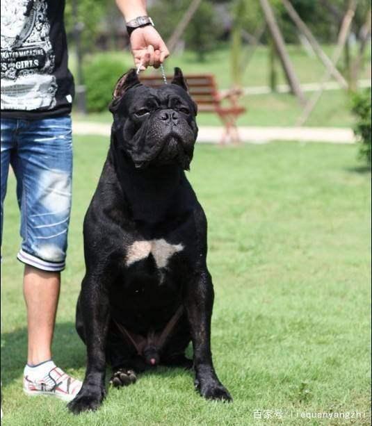 新手养卡斯罗犬需要注意什么如何训练卡斯罗犬?