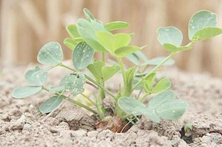 花生出苗后,如果要促进花生的增产增收,该怎么做?