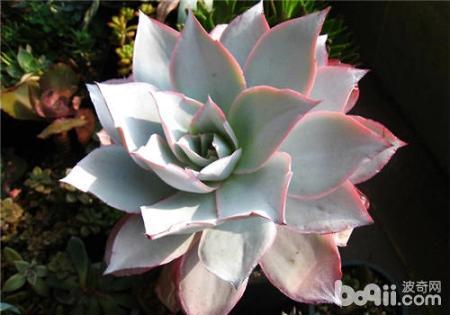 拟石莲花属有哪些特征?如何繁殖?