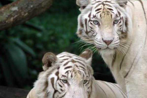 """老虎大多都是黄色的,为何四圣兽之中要叫""""白虎""""?"""