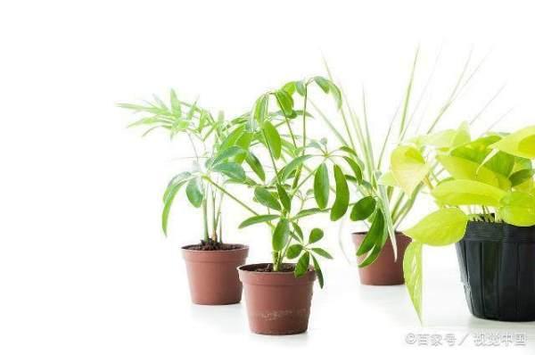 为什么你养绿萝发财树这些植物老黄叶?