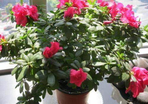 杜鹃花为什么只长叶不开花 这个方法能让杜鹃多花开爆盆?
