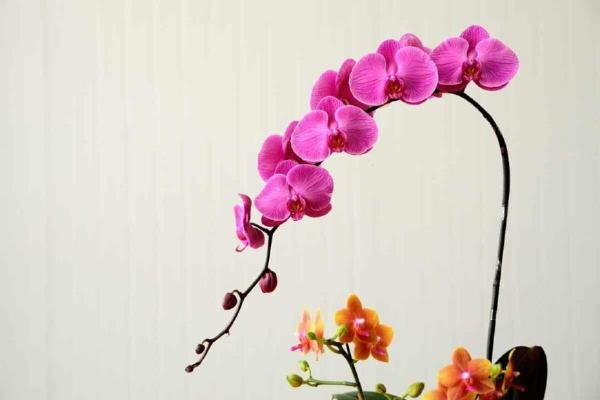 如何在阳台上养蝴蝶兰?