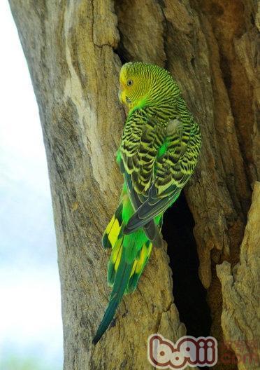 虎皮鹦鹉的繁殖与育雏知识有哪些?
