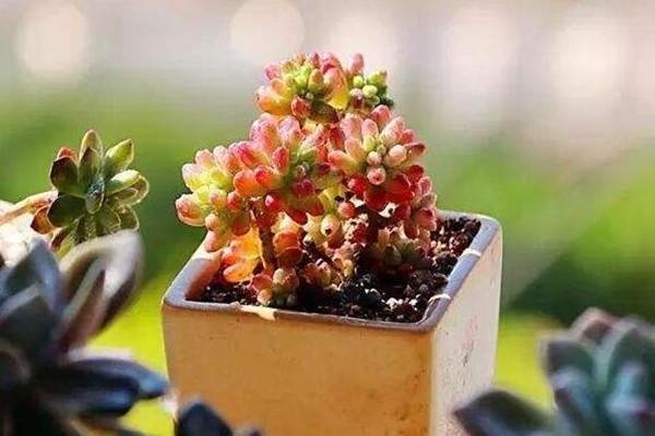虹之玉又是多肉植物中极易插活的品种,虹之玉插叶的方法有哪些?