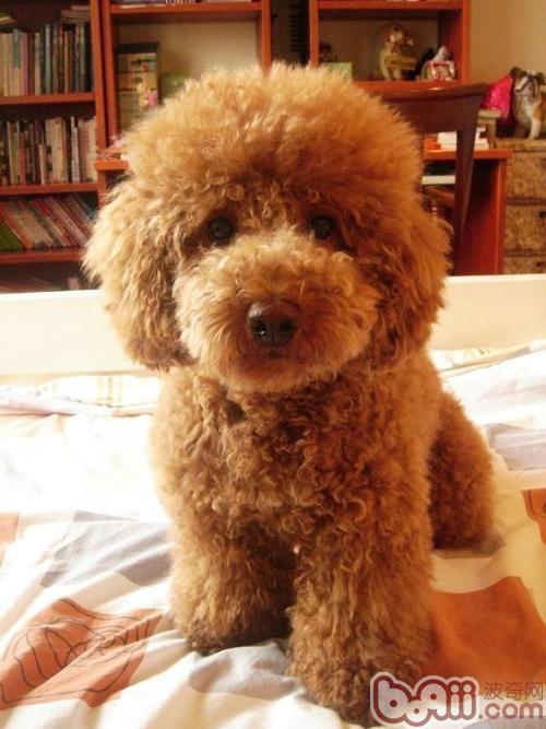 喂养泰迪犬有哪些误区?